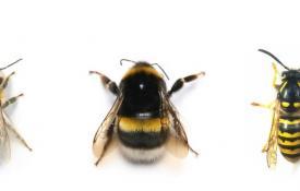 Apa Perbedaan Tawon dan Lebah?